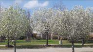 Pear Trees 1